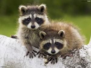 Cute-Raccoon-Image-07
